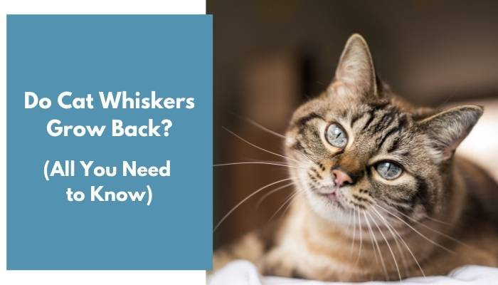 do cat whiskers grow back