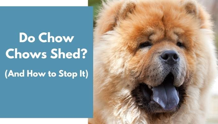 do chow chows shed