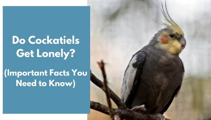 do cockatiels get lonely