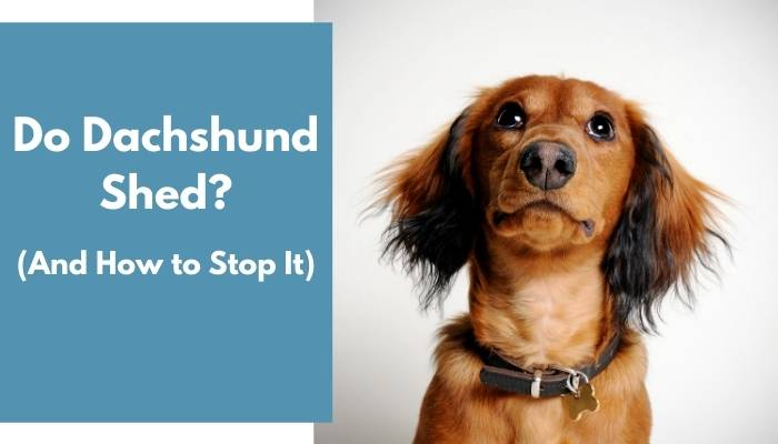 do dachshunds shed