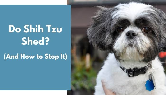 do shih tzus shed