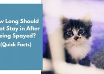 How Long Should a Cat Stay in After Being Spayed? (Quick Facts)