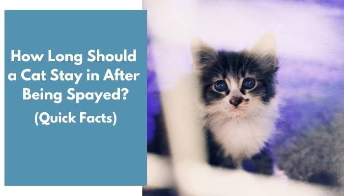 how long should a cat stay in after being spayed