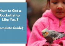 How to Get a Cockatiel to Like You? (Complete Guide)