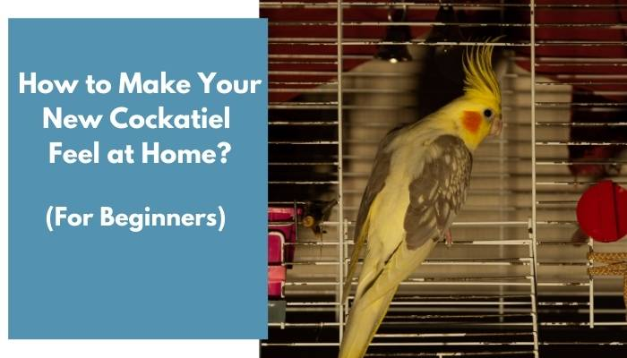how to make your new cockatiel feel at home