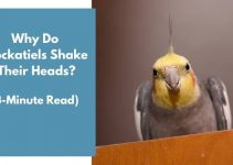 Why Do Cockatiels Shake Their Heads? (3-Minute Read)