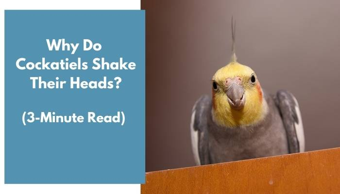 why do cockatiels shake their heads