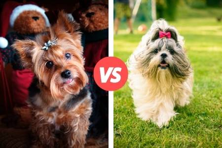 yorkies and shih tzus compared
