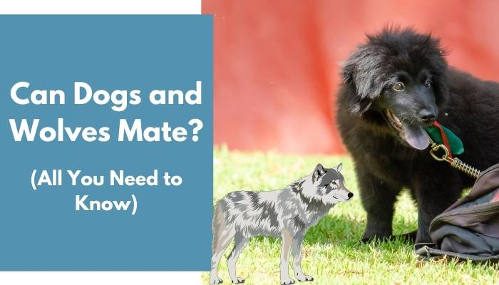 Can Dogs and Wolves Mate