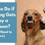 What to Do if Your Dog Gets Bit by a Raccoon