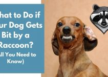 What to Do if Your Dog Gets Bit by a Raccoon? (Quick Facts)
