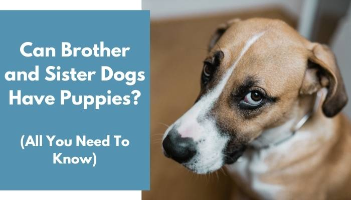 Can Brother and Sister Dogs Have Puppies