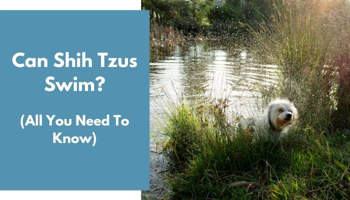 Can Shih Tzus Swim