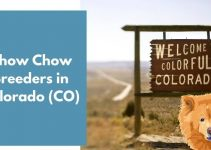 Chow Chow Breeders in Colorado (CO) | Chow Chow Puppies for Sale