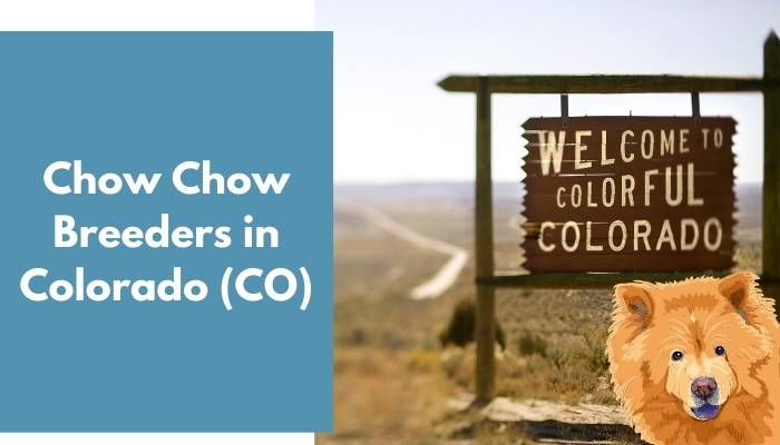 Chow Chow Breeders in Colorado (CO)