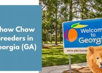 Chow Chow Breeders in Georgia (GA) | Chow Chow Puppies for Sale