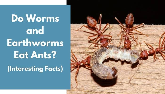 Do Worms and Earthworms Eat Ants