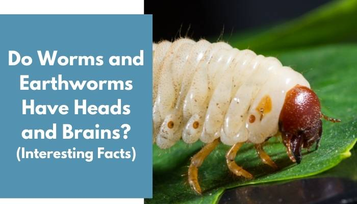 Do Worms and Earthworms Have Heads and Brains