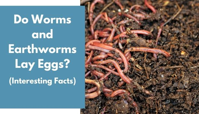 Do Worms and Earthworms Lay Eggs