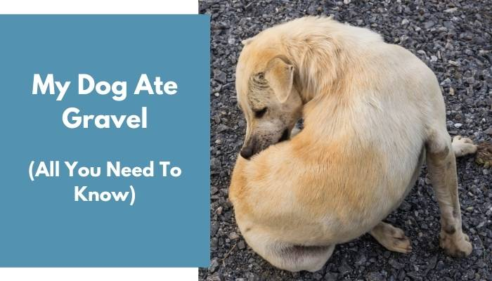 Dog Ate Gravel