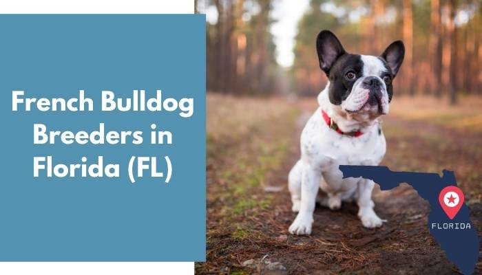 French Bulldog Breeders in Florida FL