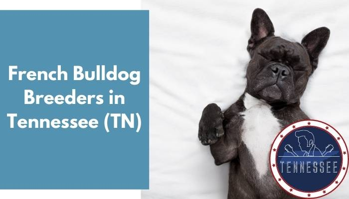 French Bulldog Breeders in Tennessee TN