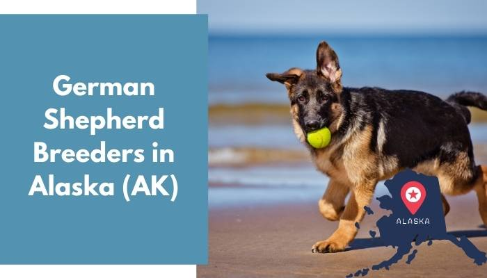 German Shepherd Breeders in Alaska AK