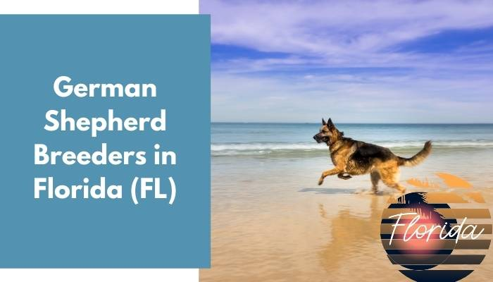 German Shepherd Breeders in Florida FL