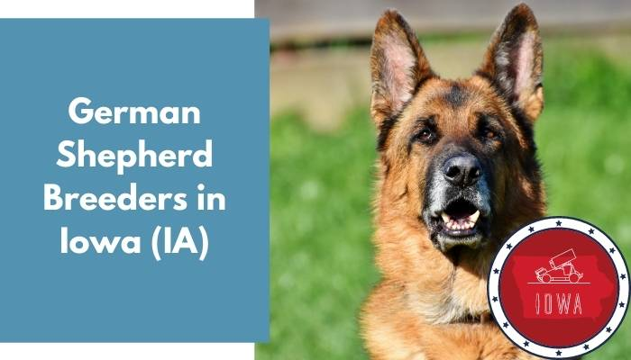 German Shepherd Breeders in Iowa IA