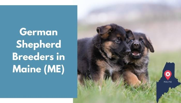 German Shepherd Breeders in Maine ME