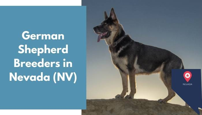 German Shepherd Breeders in Nevada NV
