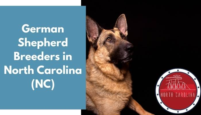 German Shepherd Breeders in North Carolina NC