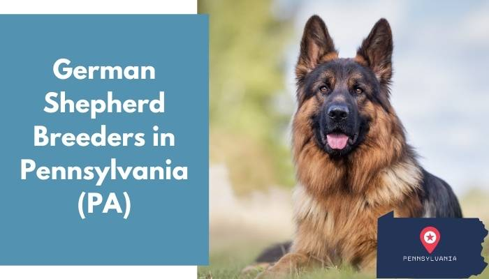German Shepherd Breeders in Pennsylvania PA