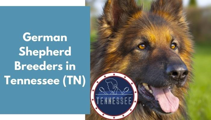 German Shepherd Breeders in Tennessee TN