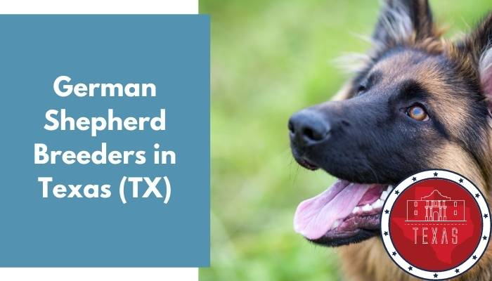 German Shepherd Breeders in Texas TX