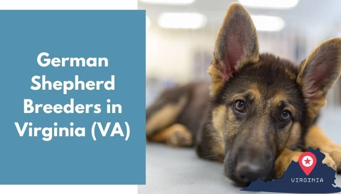 German Shepherd Breeders in Virginia VA