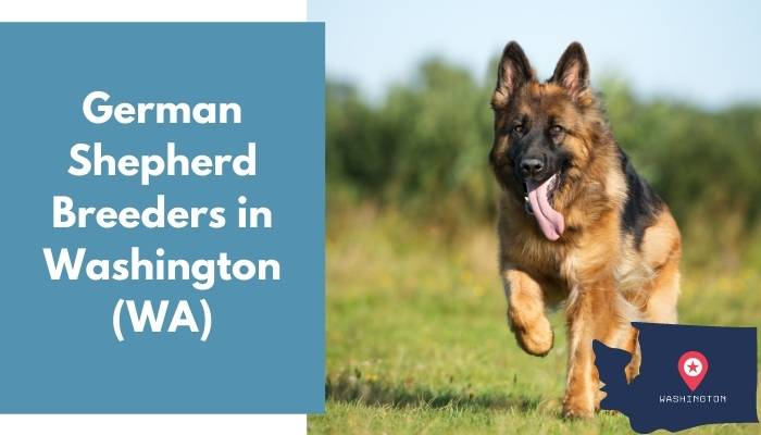 German Shepherd Breeders in Washington WA