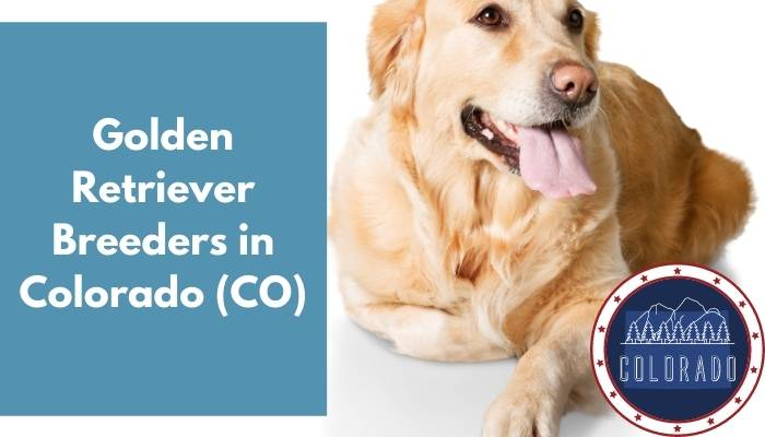 Golden Retriever Breeders in Colorado CO