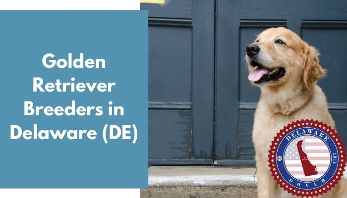 Golden Retriever Breeders in Delaware DE