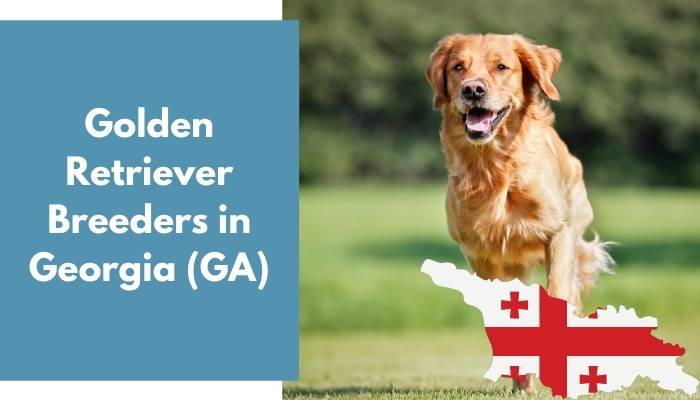 Golden Retriever Breeders in Georgia GA