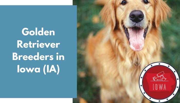 Golden Retriever Breeders in Iowa IA