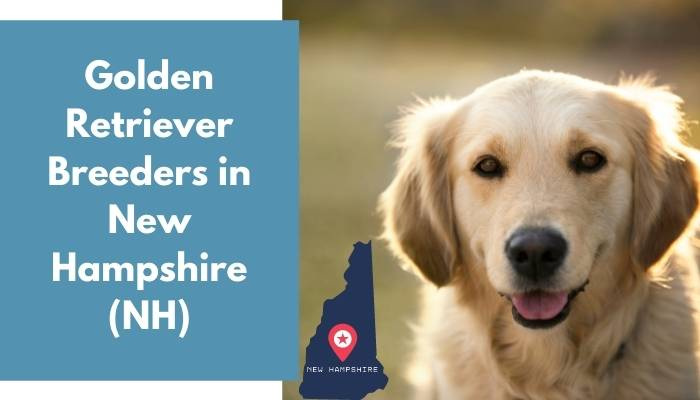 Golden Retriever Breeders in New Hampshire NH