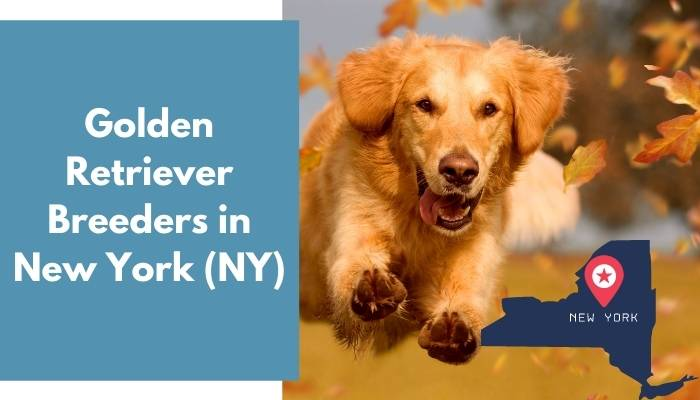 Golden Retriever Breeders in New York NY