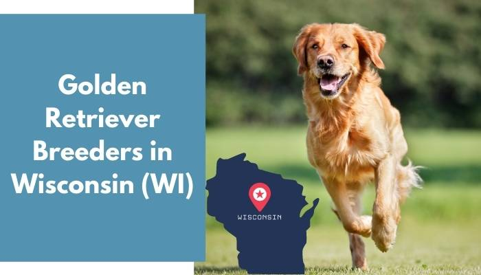 Golden Retriever Breeders in Wisconsin WI