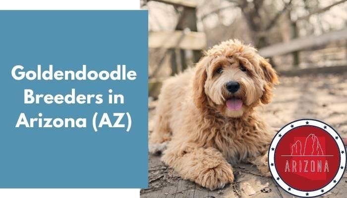 Goldendoodle Breeders in Arizona AZ
