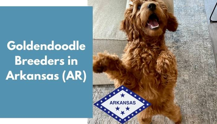 Goldendoodle Breeders in Arkansas AR