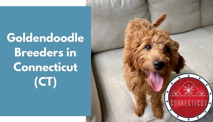 Goldendoodle Breeders in Connecticut CT