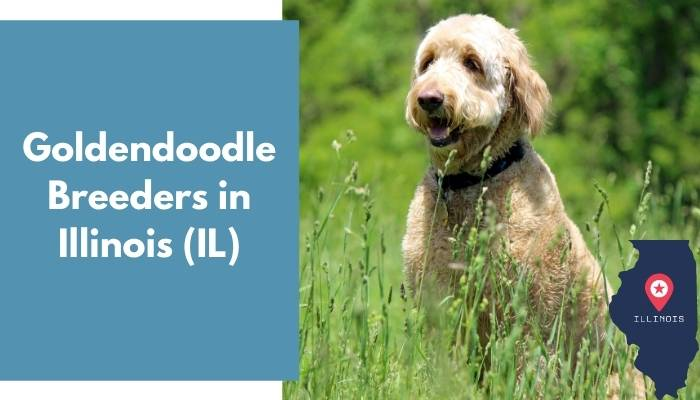 Goldendoodle Breeders in Illinois IL