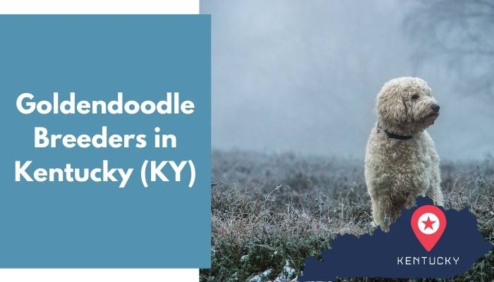 Goldendoodle Breeders in Kentucky KY