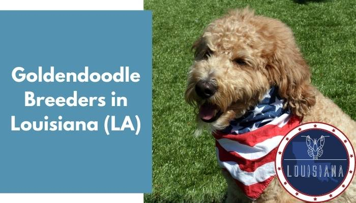 Goldendoodle Breeders in Louisiana LA